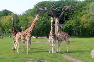 Nysgerrige giraffer normal300